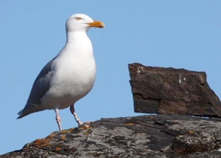 The glaucous gull (Larus hyperboreus) has a circumpolar and high-Arctic distribution, and in the northeast Atlantic Ocean its breeding grounds span from Greenland to North-Russia. Photo: Mari Løseth