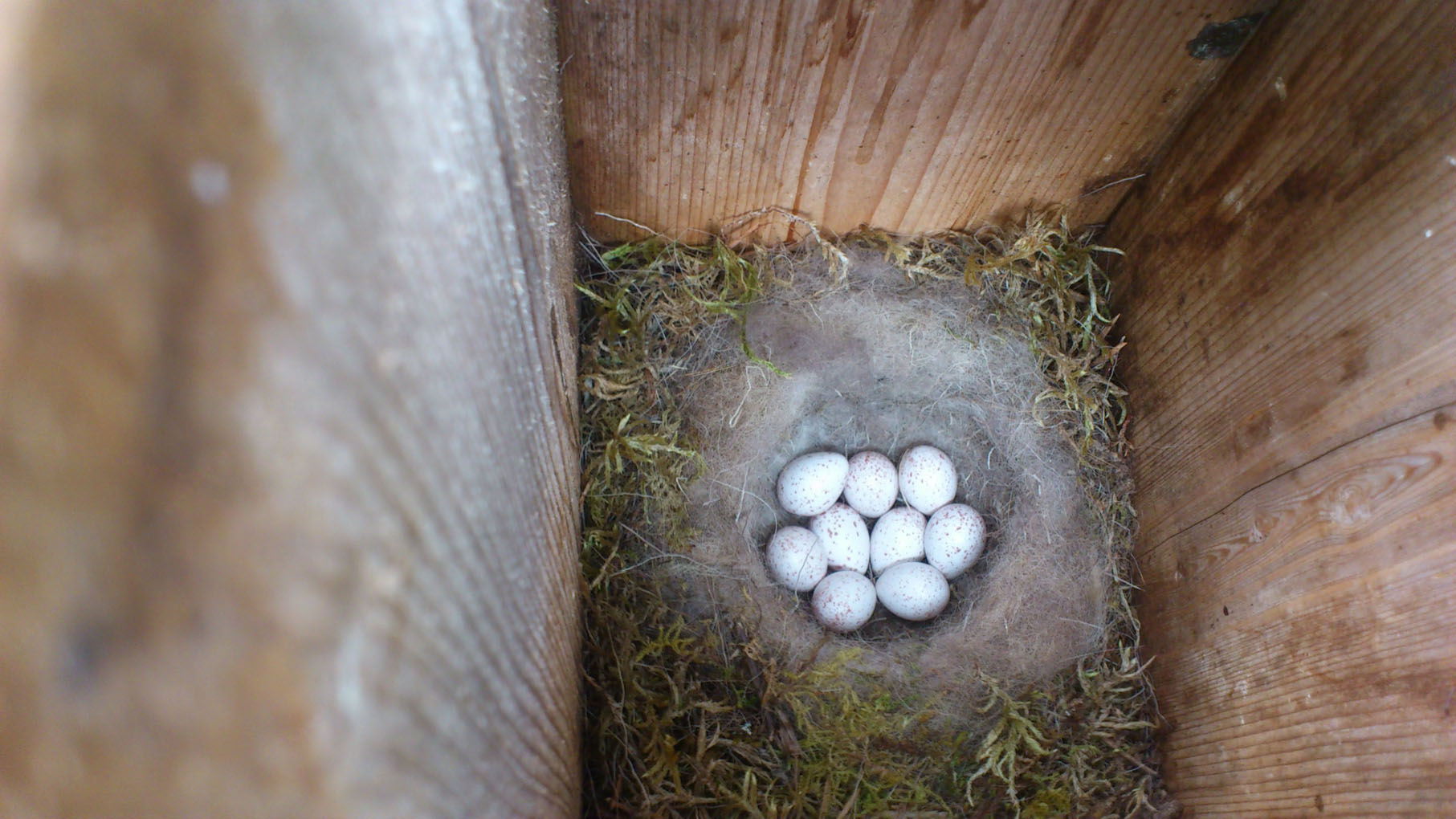 Kjøttmeisparet i NTNU-fuglekassa har fått 8 egg. Foto;: Henriette Vaagland / NTNU
